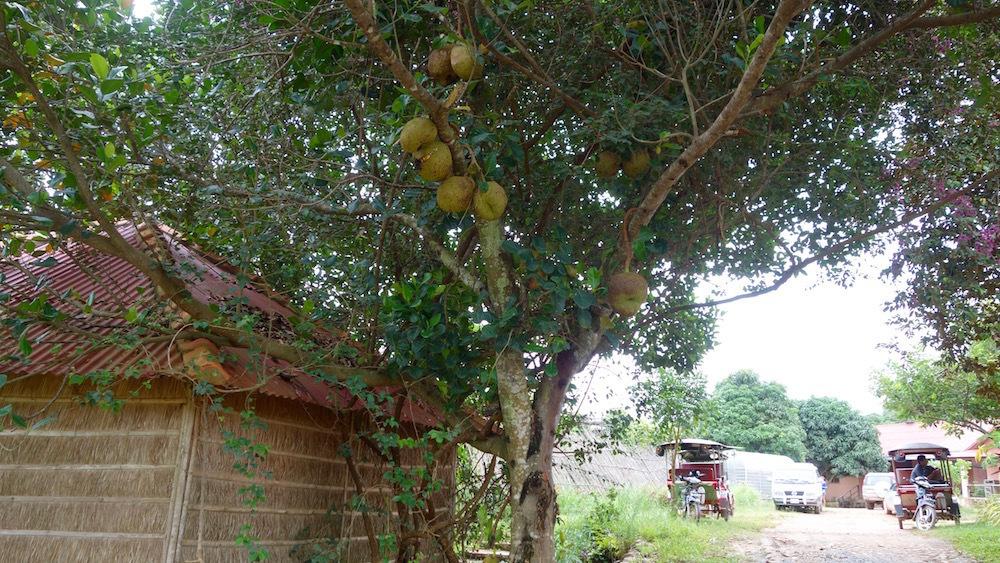 臭い果物 ジャックフルーツ 世界最大